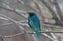 Stare på San Antonio Zoo Fotografering för Bildbyråer