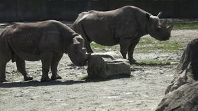 Stare pericoloso di due del rinoceronte bicornis del Diceros video d archivio