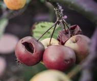 Stare podgniłe jagody Fotografia Royalty Free
