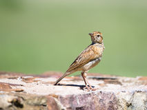 The stare. A Rufous-naped Lark staring over its shoulder Stock Image