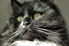 Stare sight of black cat Royalty Free Stock Photos