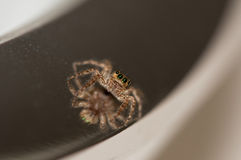 The stare of a spider. A closeup of common spider with a reflection Royalty Free Stock Images