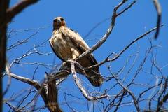 Stare of a tawny eagle. Tawny Eagle in Botswana. Savuti, chobe national park Stock Photos