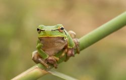 Stare of tree frog Royalty Free Stock Photo