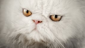 Stare of a white cat of the Persian breed. Royalty Free Stock Photo