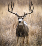 Stare of the Winter Buck. A buck giving me a good stare at the RMA outside of Denver, Colorado Stock Photo
