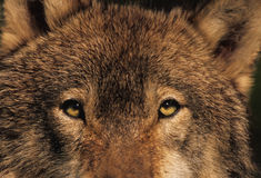 Stare of the Wolf. Closeup stare from the eyes of a gray wolf Stock Images