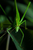 Stared with a green grasshopper with cassava leaves.  Stock Photos