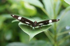 Staredown бабочки Стоковые Фотографии RF