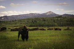 Staredown de bison images stock