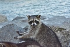 Staredown with a sow coon Royalty Free Stock Image