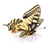 Starego Światu Swallowtail Papilio machaon motyl obrazy royalty free