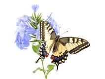 Starego Światu Swallowtail Papilio machaon motyl umieszczał na kwiatu plumbago Plumbago Błękitnym auriculata wszystko na białym b fotografia stock
