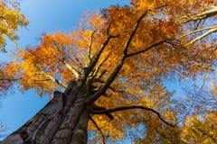Starego bukowego drzewa jesieni złoci liście Obrazy Royalty Free