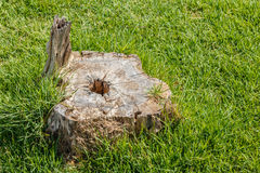 Starego fiszorka drzewna roślina na zielonej trawy polu Obraz Royalty Free