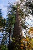 Starego przyrosta cedr w jesieni Obrazy Royalty Free
