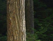 Starego przyrosta las, Olimpijski park narodowy, Waszyngton zdjęcie stock
