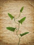 Starego rocznika gazetowa tekstura z suchą rośliną Obrazy Royalty Free