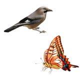 Starego Światu Swallowtail motyl, Dziki ptak Obrazy Stock
