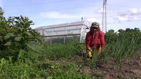 Starej średniorolnej kobiety świrzepy cebulkowe rośliny w ogrodowej pobliskiej cieplarni zbiory