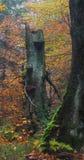 Starej jesień bukowy drzewo Zdjęcie Royalty Free
