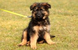 Starend puppy Royalty-vrije Stock Fotografie