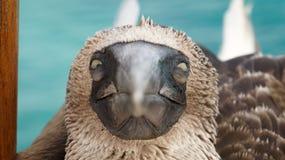 Starende Blauwe betaalde domoor, de Eilanden van de Galapagos stock fotografie
