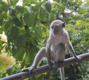 Starende blik van een grappige aap Royalty-vrije Stock Foto's