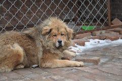 Starende hond Royalty-vrije Stock Afbeelding