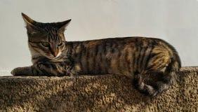 Starende kat Stock Afbeelding