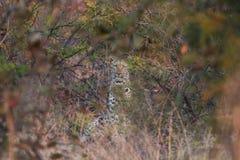 Starende luipaard Royalty-vrije Stock Foto