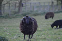Starende schapen Stock Fotografie