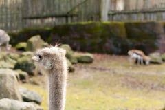 Starende struisvogel royalty-vrije stock afbeelding