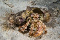 Stareye hermit crab crawling in Derawan, Kalimantan, Indonesia underwater photo Stock Photo