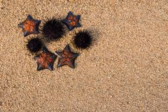 Starfish and hedgehogs. Hedgehogs and starfish on sea sand. Have been released in the sea Royalty Free Stock Images