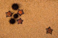 starfich jeża zdjęcie stock