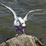 starfish чайки Стоковые Фото