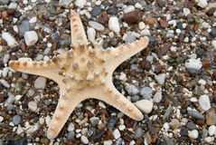 Starfish Royalty Free Stock Image