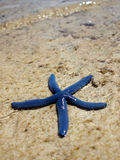 Starfish. A blue starfish by the sea Royalty Free Stock Photo