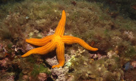 Starfish. Orange echinaster sepositus in the mediterranean sea Royalty Free Stock Photos