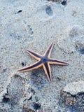 Starfish imagens de stock