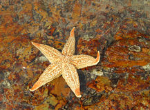 Free Starfish Royalty Free Stock Image - 14216456