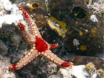 Starfish. Red with yellow starfish laying on the coralreef stock photo