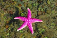 Free Starfish Royalty Free Stock Image - 15198346