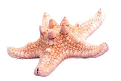 Starfish. Royalty Free Stock Photography