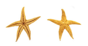 Starfish. Two starfish in two forms Stock Images