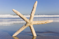 Starfish stockfoto