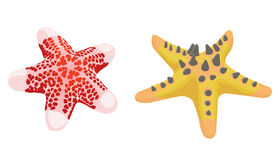 Starfish. Twoo starfish isolated in white Stock Photography