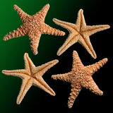 Starfish. Four starfish over a deep green background stock photography