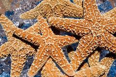 StarFish. A collection of star fish over rocks and water in California Stock Image